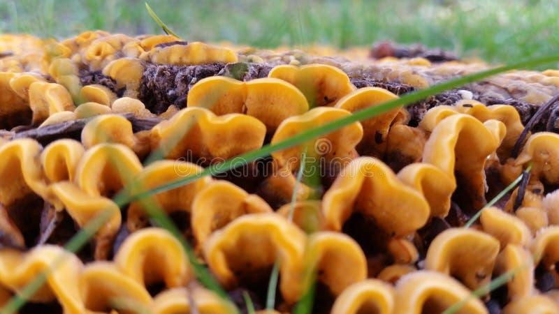 Pieczarkowy kolor żółty obrazy stock