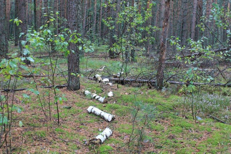 Pieczarkowy las w Ukraina obraz royalty free