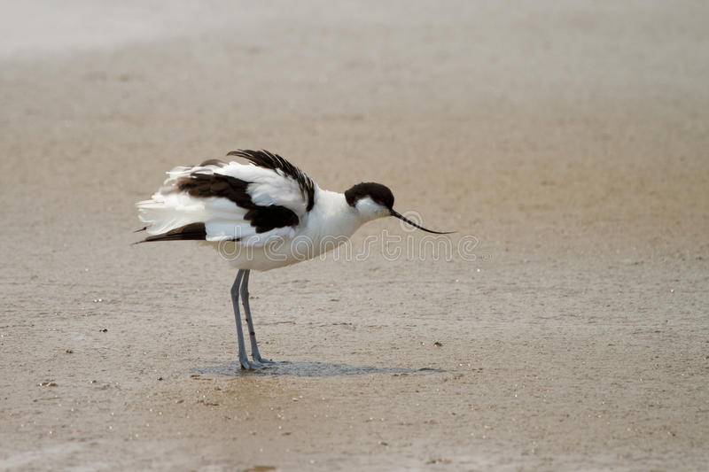 Download Pied avocet stock image. Image of eyes, pool, pied, landing - 18393449