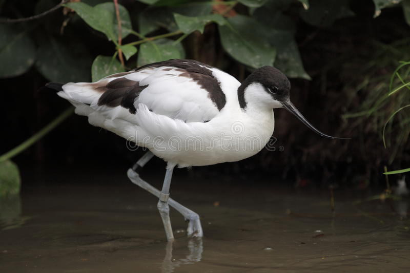 Pied avocet royalty free stock photography