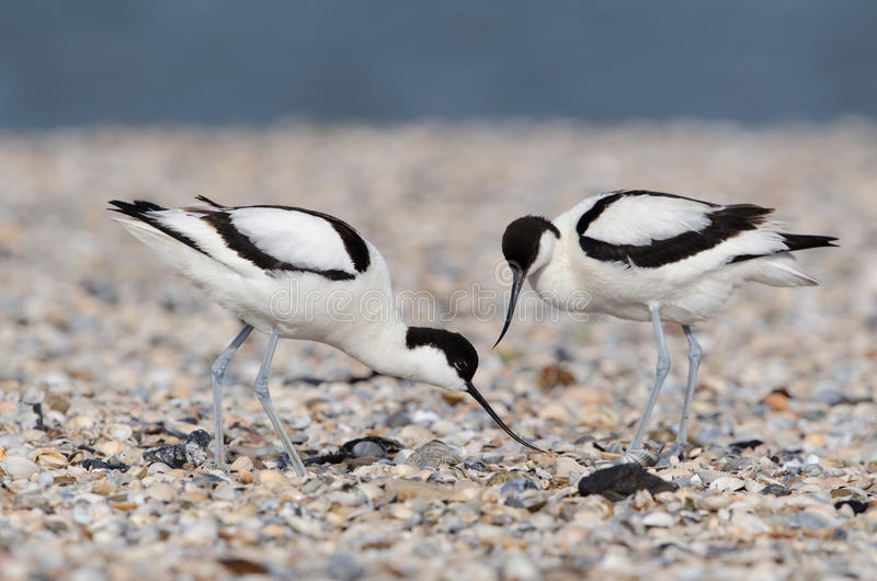 Download Pied avocet stock photo. Image of avosetta, wildlife - 26301370