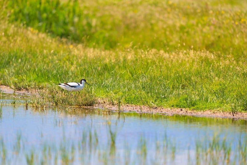 Pied avocet bird in nature stock photo