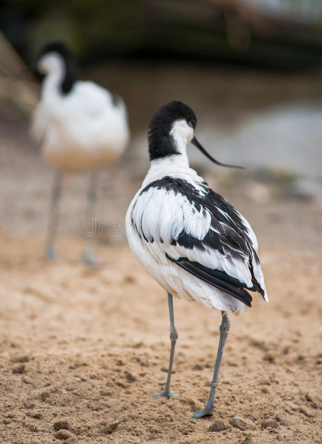 Pied avocet: black and white wader stock photos