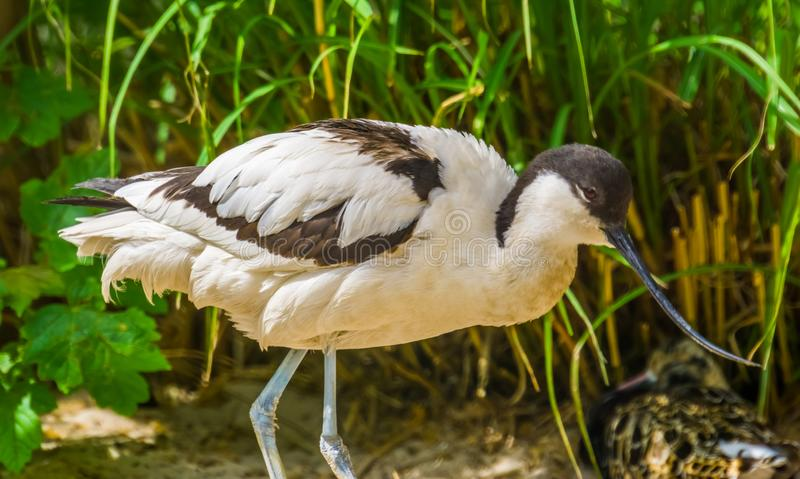 Pied avocet in closeup, black and white bird with a long curved bill, wading bird from Eurasia royalty free stock image