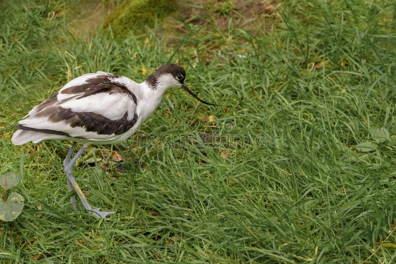 Pied avocet, Recurvirostra avosetta, a large black and white wader stock photography