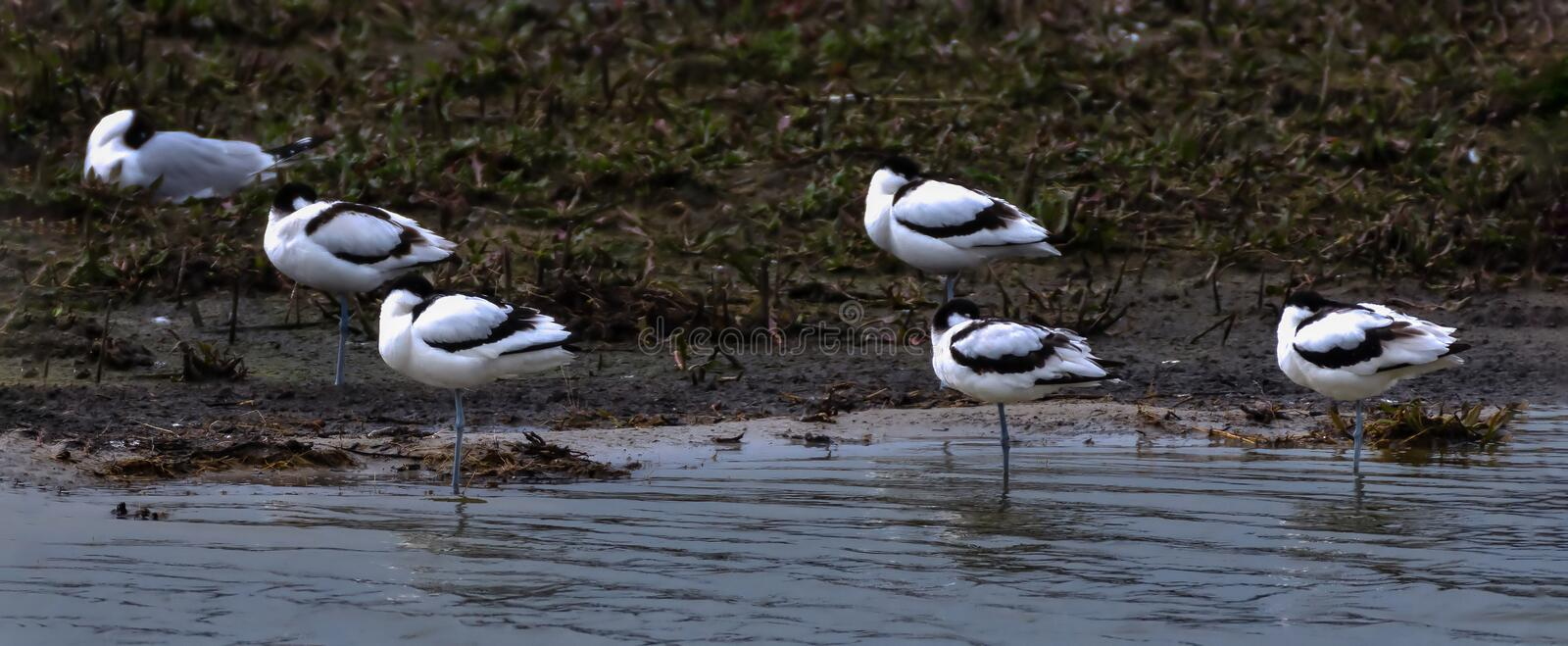 Five pied avocet resting on the pond stock photography