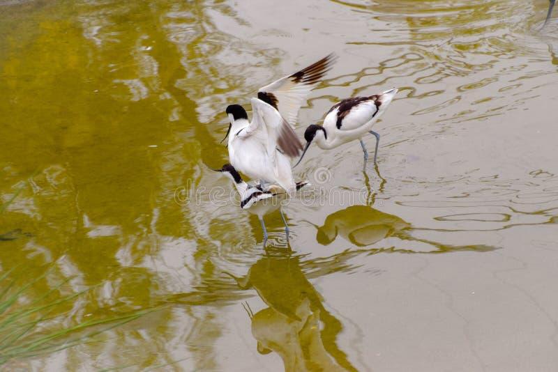 Pied Avocet Water bird with a thin beak. In the wild stock photo