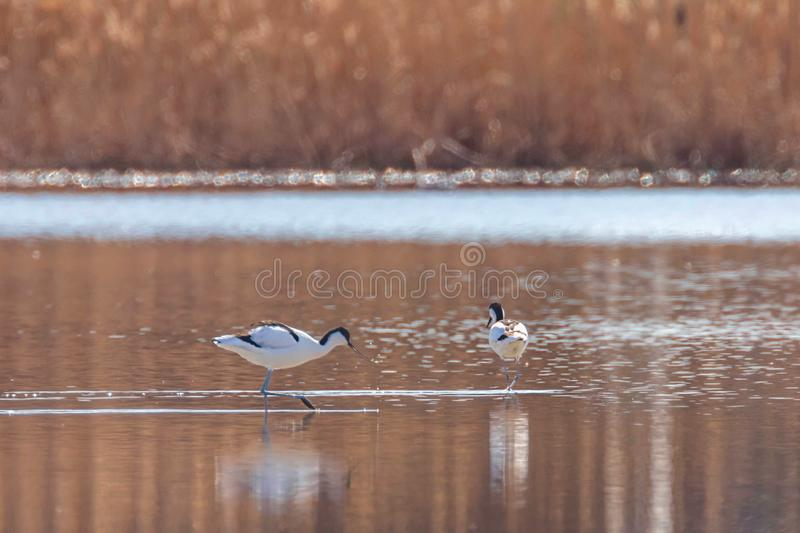 Pied Avocet in water looking for food Recurvirostra avosetta Black and white wader bird royalty free stock images