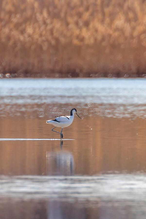 Pied Avocet in water looking for food Recurvirostra avosetta Black and white wader bird stock image