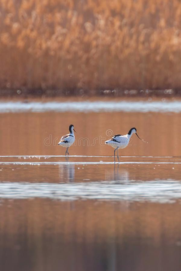 Pied Avocet in water looking for food Recurvirostra avosetta Black and white wader bird stock photography