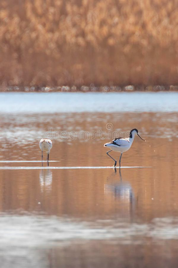 Pied Avocet in water looking for food Recurvirostra avosetta Black and white wader bird royalty free stock image
