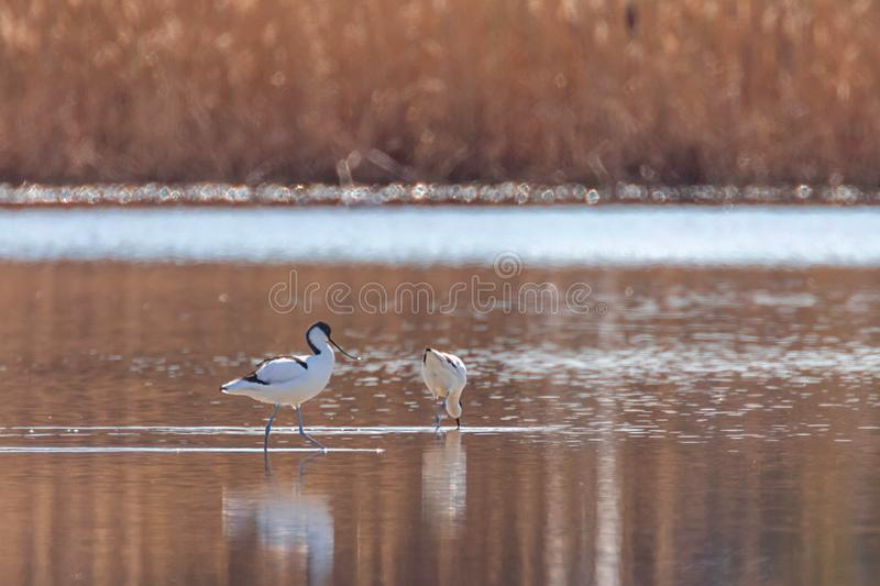 Pied Avocet in water looking for food Recurvirostra avosetta Black and white wader bird royalty free stock photography