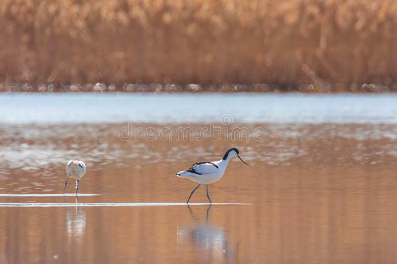 Pied Avocet in water looking for food Recurvirostra avosetta Black and white wader bird stock images