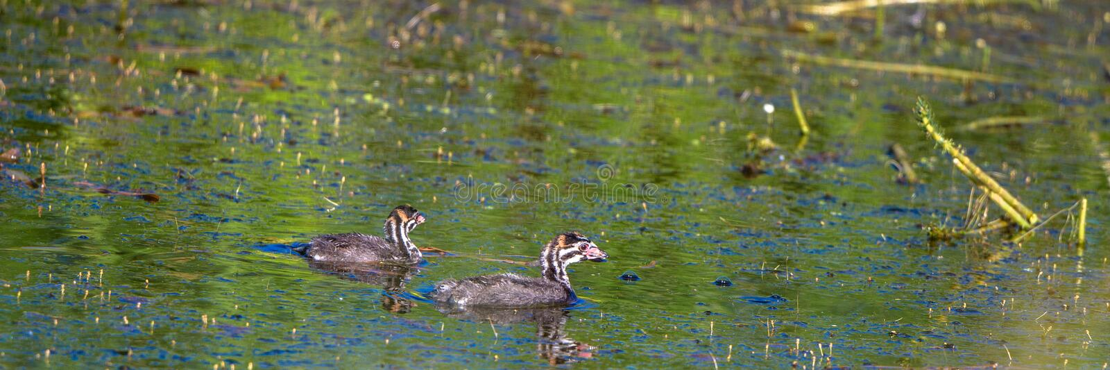 Pied-billed Grebe babies swim in a marsh, with reflections stock images