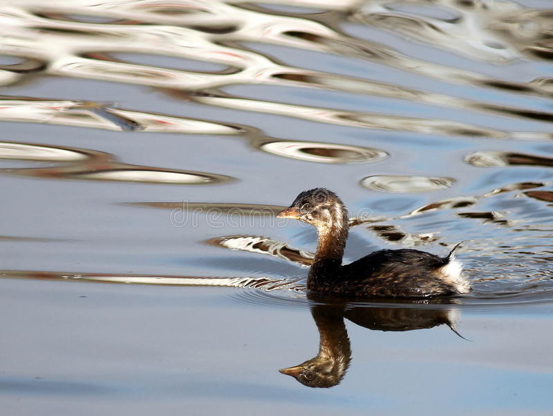 Pied-billed Grebe Reflections stock images