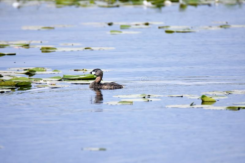 Pied-billed Grebe swimming in the lake. royalty free stock photos