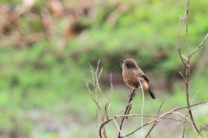 Pied Bushchat royalty free stock photo