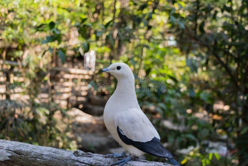 Pied cesarski gołębi Ducula bicolor stoi na drewna fe obraz royalty free