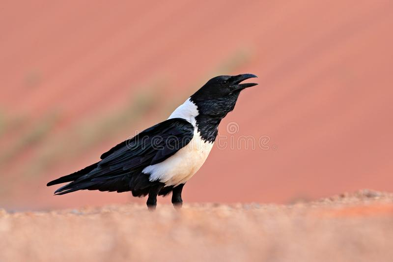 Pied crow, Corvus albus, black and white bird in sand desert in Namibia, slow motion with open bill. Animal behaviour in Africa. stock photography