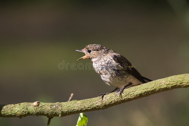Download Pied Flycatcher stock photo. Image of birds, forest, animal - 7597872