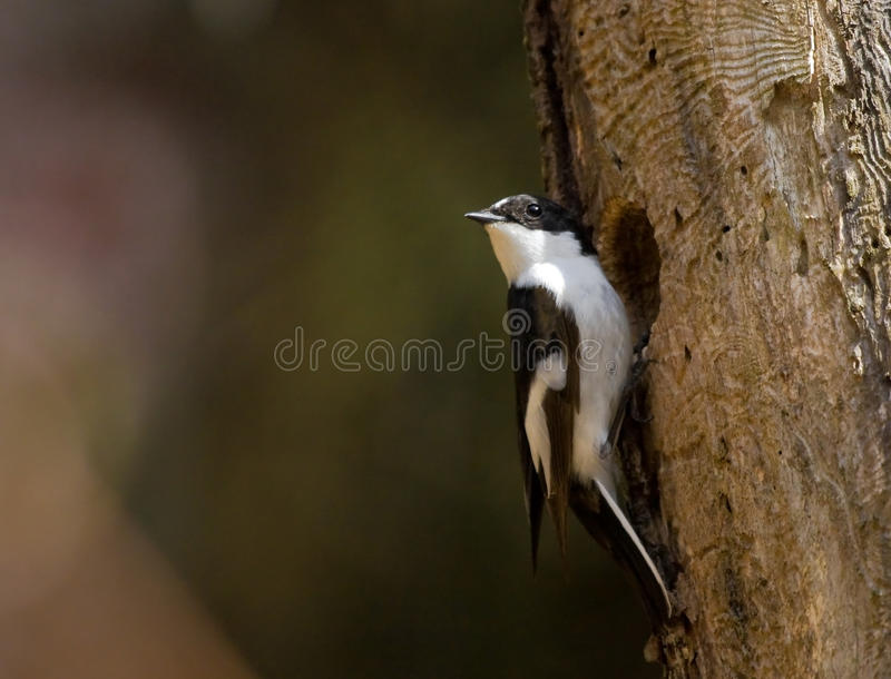 Download Pied Flycatcher At A Hollow Stock Image - Image: 23710207