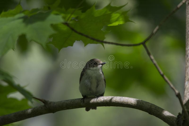 The Pied Flycatcher - Ficedula hypoleuca. Bird and greenery. royalty free stock photo