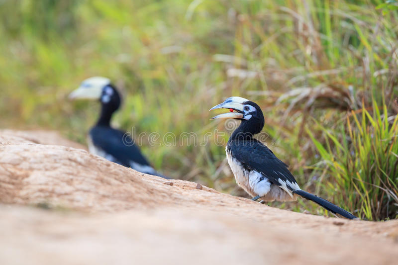 pied hornbill востоковедное стоковые фото
