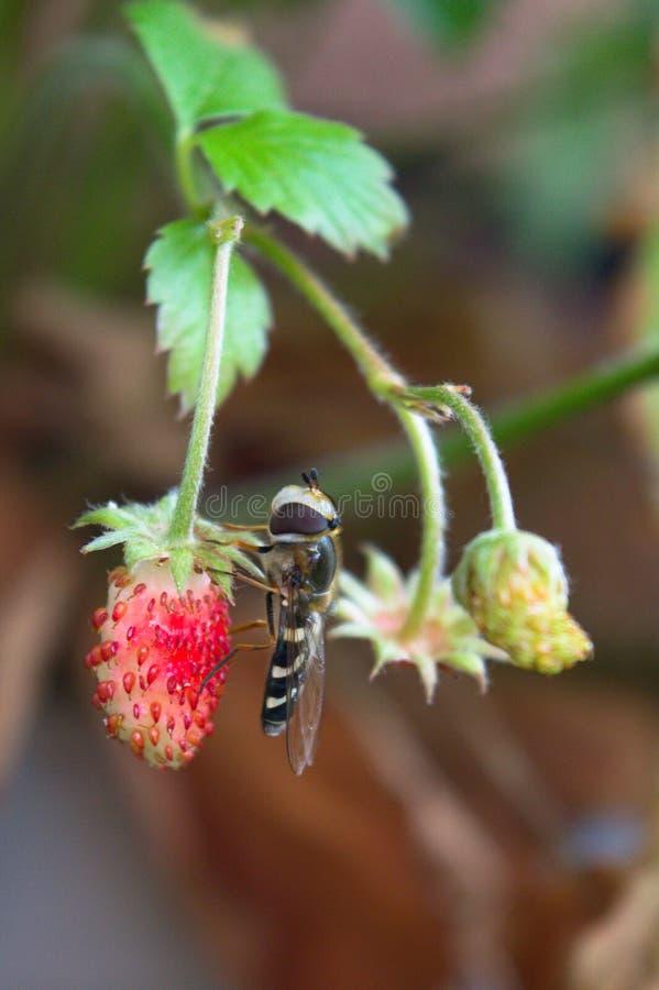 Pied hoverfly no morango silvestre foto de stock