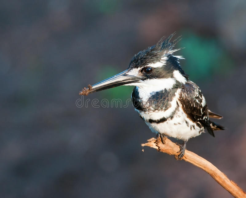 Pied Kinfisher On Branch Royalty Free Stock Photography