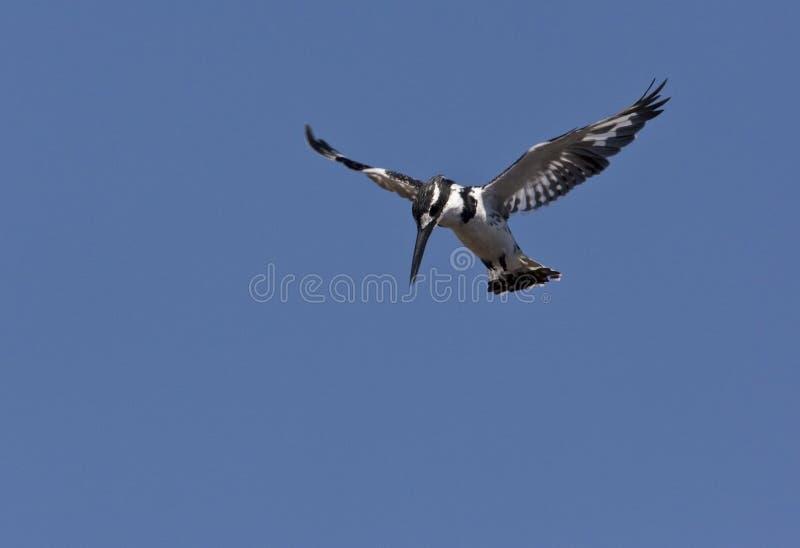 Pied Kingfisher - Ботсвана стоковые фото
