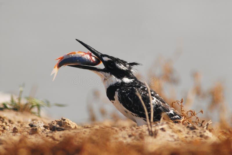 Pied Kingfisher. Swallow fish, photo taken in Maagan Michael, Israel stock images