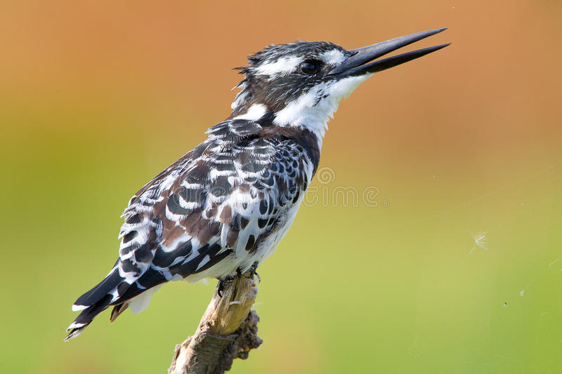 Download Pied Kingfisher stock image. Image of water, white, black - 23597561