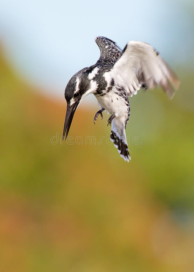 Download Pied Kingfisher stock image. Image of wings, ceryle, hover - 23597695