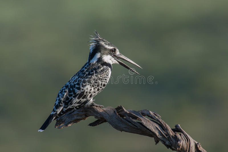 Download Pied Kingfisher stock photo. Image of wildlife, body - 25218880