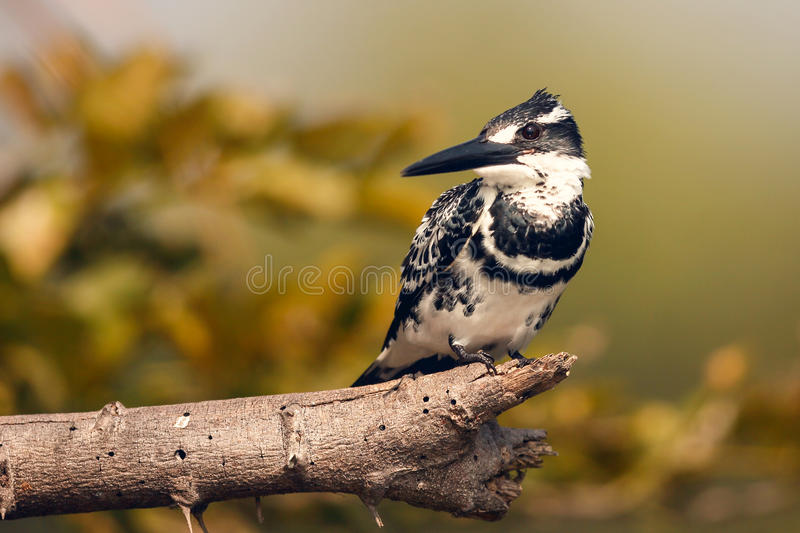 Download Pied Kingfisher stock photo. Image of feathers, avian - 28770952