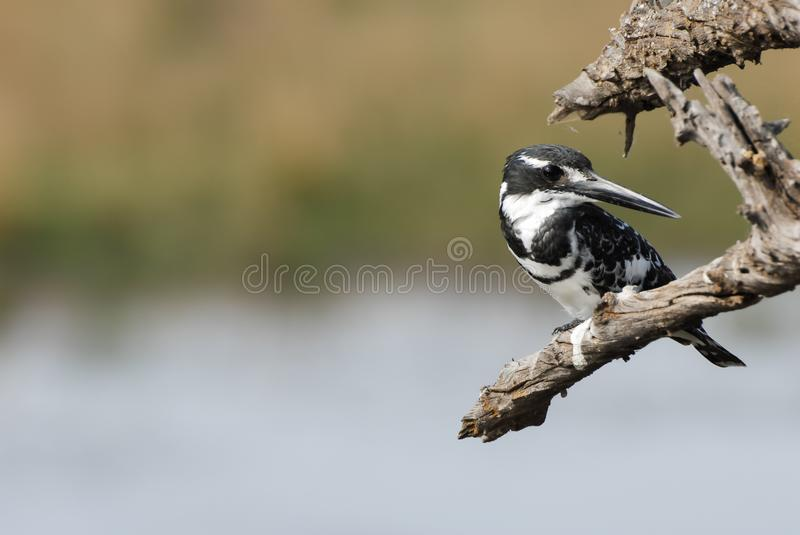 Pied kingfisher bird above a lake looking to side royalty free stock images