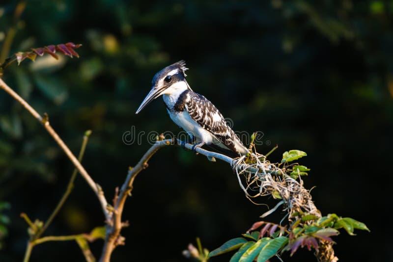 Download Pied Kingfisher Bird Tree Stock Photos - Image: 28608913