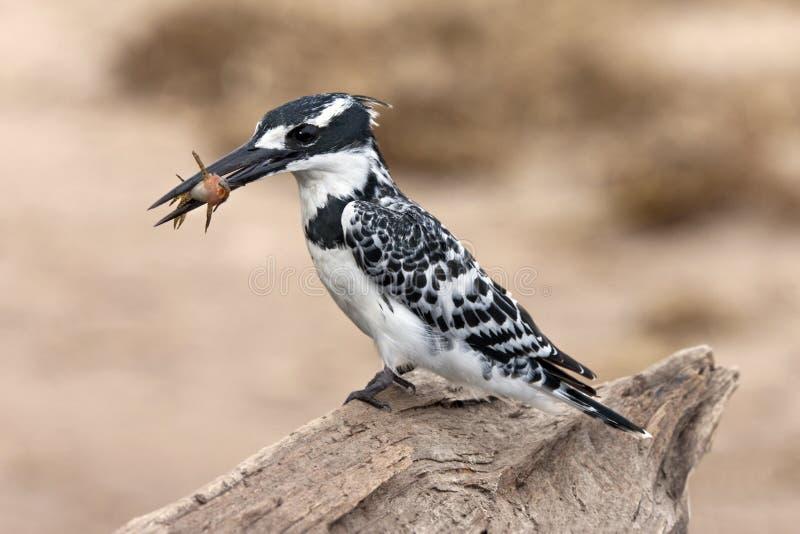 Pied Kingfisher - Botswana royalty free stock photos