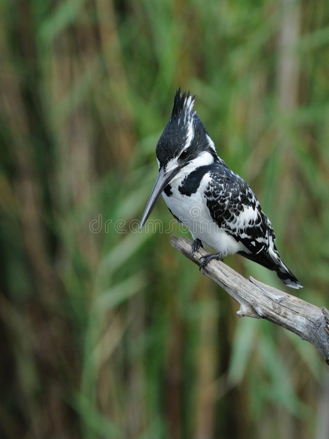 Pied Kingfisher (Ceryle Rudis). This bird you can find in many regions of south africa stock photo