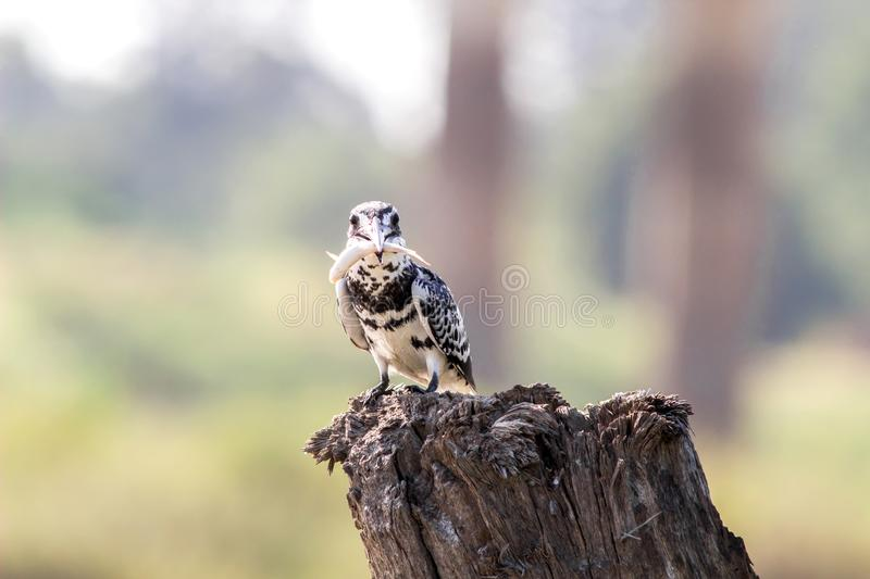 Pied Kingfisher Ceryle rudis with fish catch on perched a branch stock image