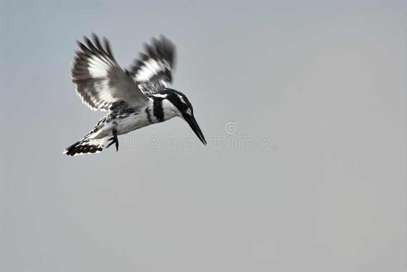 Pied Kingfisher Ceryle rudis in flight royalty free stock image