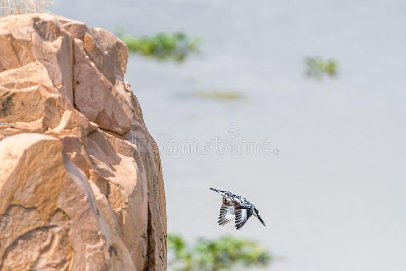 Pied kingfisher diving from a rock above the Letaba River. A pied kingfisher, Ceryle rudis, diving from a rock above the Letaba River royalty free stock photos