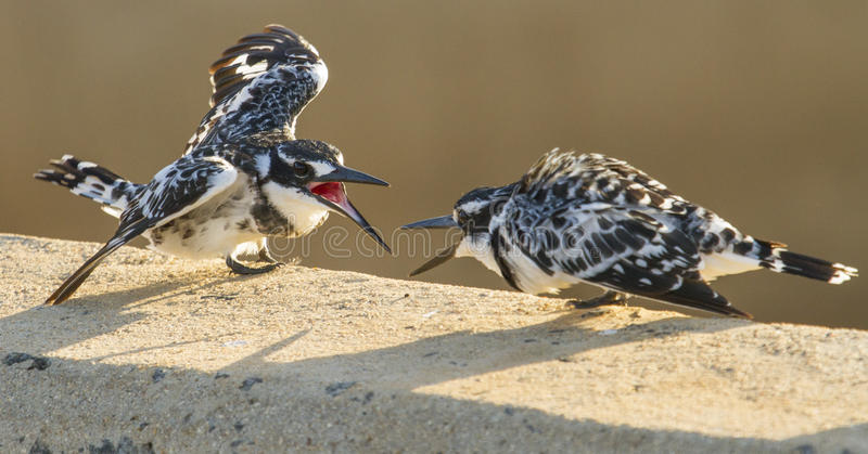 Pied Kingfisher Fight - Kruger National Park.  royalty free stock images