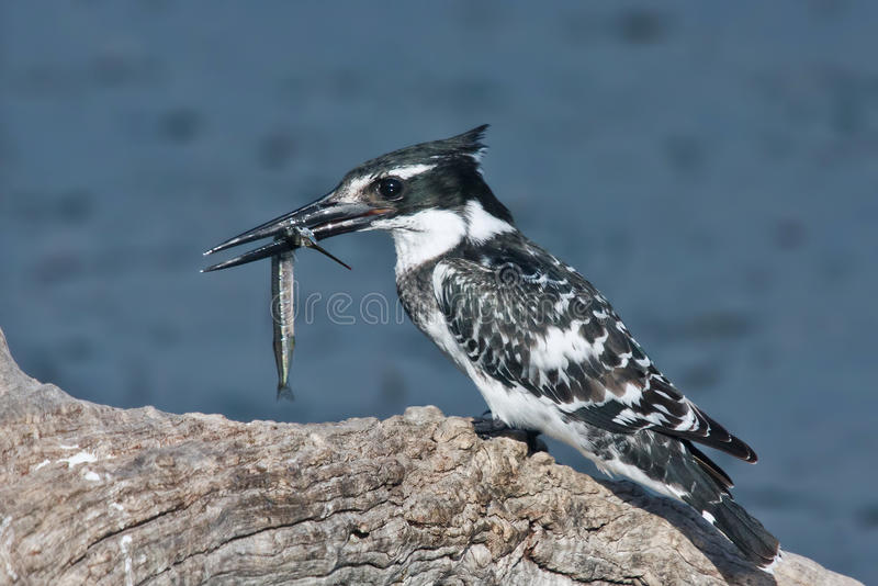 Pied kingfisher with a fish stock image