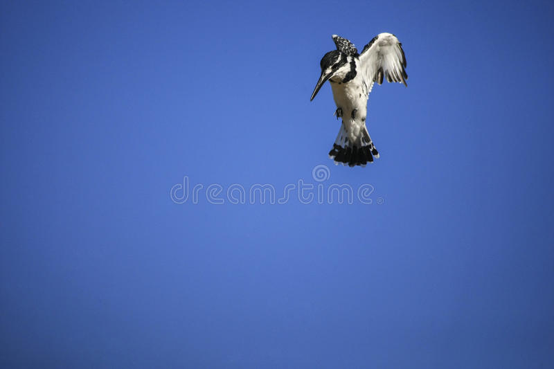 Pied Kingfisher Hovering in Air. A Pied Kingfisher Hovering in Air stock photo