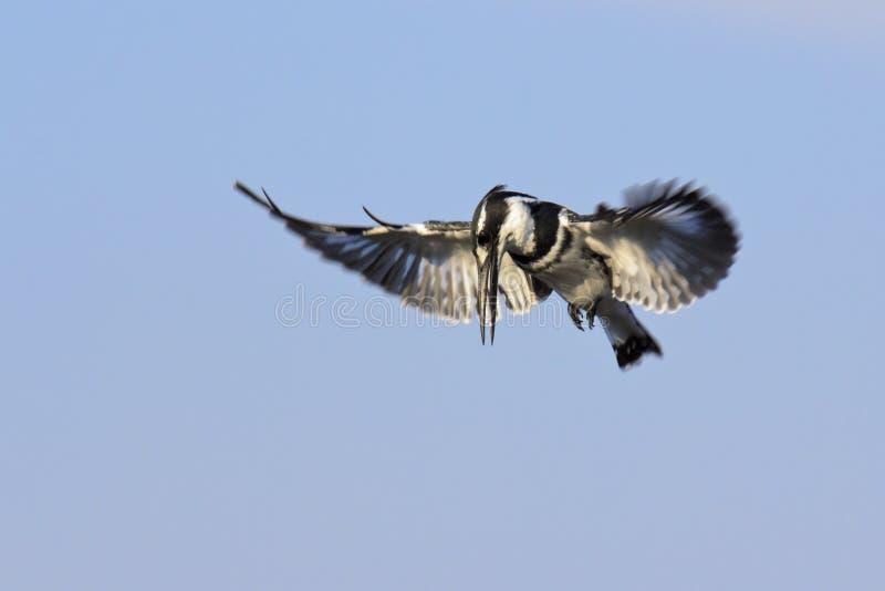 Pied Kingfisher Hunting stock image