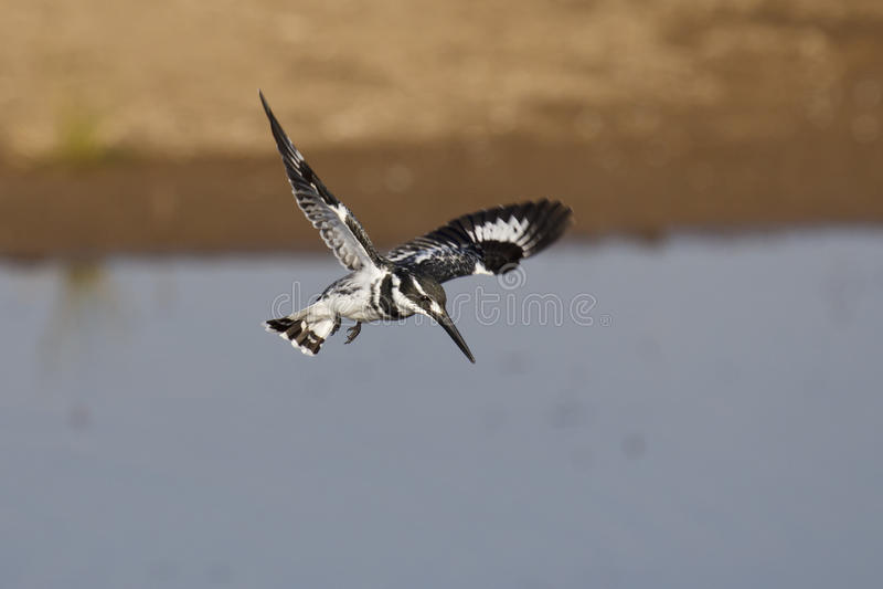 Pied Kingfisher Hunting stock photos