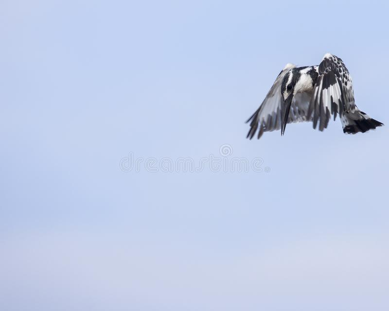 Pied kingfisher ready to dive stock images