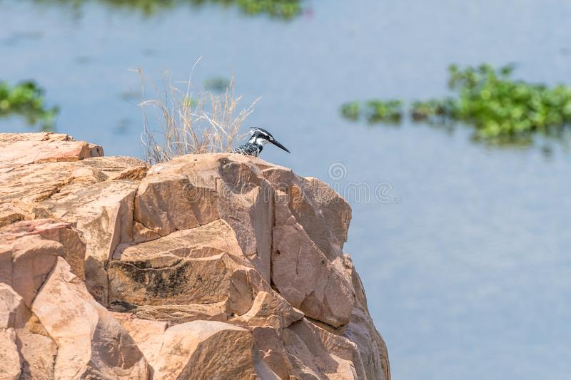 Pied kingfisher on a rock above the Letaba River. A pied kingfisher, Ceryle rudis, on a rock above the Letaba River royalty free stock image