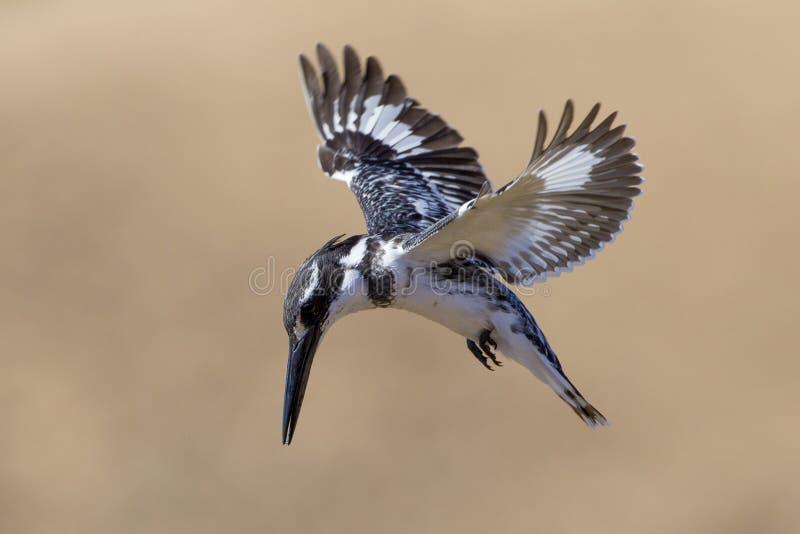 Pied Kingfisher (rudis) Ceryle Южно-Африканская РеспублЍ стоковая фотография